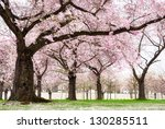 Blossoming Cherry Trees In An...