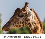 giraffe  giraffa camelopardalis ... | Shutterstock . vector #1302914131