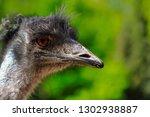 close up of australian emu ... | Shutterstock . vector #1302938887