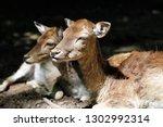 portrait of fallow deer  dama ... | Shutterstock . vector #1302992314