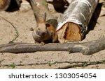 portrait of grey brown domestic ... | Shutterstock . vector #1303054054