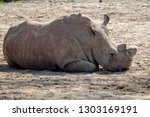 southern white rhinoceros lying ... | Shutterstock . vector #1303169191