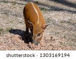 red river hog  potamochoerus... | Shutterstock . vector #1303169194