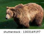 kamchatka bear in water.  ursus ... | Shutterstock . vector #1303169197