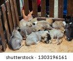 Turkish Breed Shepherd Dog...