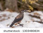 spotted nutcracker  nucifraga... | Shutterstock . vector #1303480834