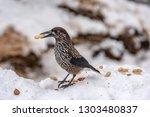 spotted nutcracker  nucifraga... | Shutterstock . vector #1303480837