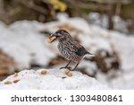 spotted nutcracker  nucifraga... | Shutterstock . vector #1303480861