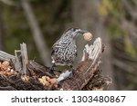 spotted nutcracker  nucifraga... | Shutterstock . vector #1303480867