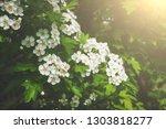 blossoming white flowers on...   Shutterstock . vector #1303818277