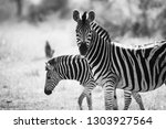 Black And White Zebra Portrait...