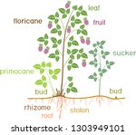 parts of plant. morphology of... | Shutterstock .eps vector #1303949101