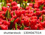 beautiful  colorful tulips ... | Shutterstock . vector #1304067514