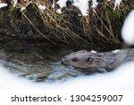 a european beaver swims in the...   Shutterstock . vector #1304259007