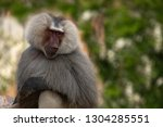 the sweet look of a primate ... | Shutterstock . vector #1304285551