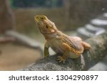 view of bearded dragon lizards... | Shutterstock . vector #1304290897