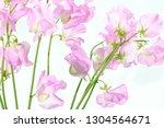 sweet pea flower | Shutterstock . vector #1304564671