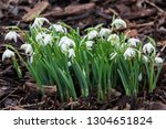 galanthus nivalis flore pleno a ... | Shutterstock . vector #1304651824