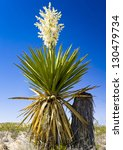 Giant Dagger Yucca Plant  In...
