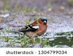 common chaffinch on ground near ... | Shutterstock . vector #1304799034