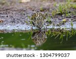 eurasian siskin female drinking ... | Shutterstock . vector #1304799037