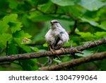 eurasian nuthatch sitting on... | Shutterstock . vector #1304799064