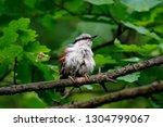 eurasian nuthatch sitting on... | Shutterstock . vector #1304799067