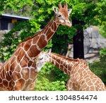 the giraffe  giraffa... | Shutterstock . vector #1304854474