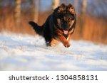 bohemian shepherd  canis lupus...   Shutterstock . vector #1304858131