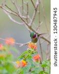 Small photo of A beautiful amethyst woodstar hummingbird