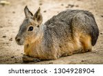The Patagonian mara (Dolichotis patagonum) is a relatively large rodent in the mara genus (Dolichotis). It is also known as the Patagonian cavy, Patagonian hare or dillaby.
