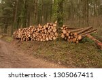timber stack of recently felled ... | Shutterstock . vector #1305067411