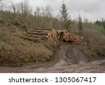 timber stack of recently felled ... | Shutterstock . vector #1305067417