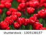 red tulips with green leaves in ... | Shutterstock . vector #1305138157
