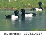 The tufted duck is a small...