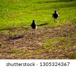 two friendly  black and white... | Shutterstock . vector #1305324367