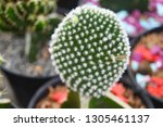 cactus with flower cactus in a... | Shutterstock . vector #1305461137