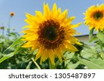 beautiful of sunflower ... | Shutterstock . vector #1305487897