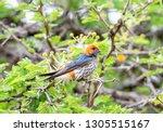 a lesser striped swallow... | Shutterstock . vector #1305515167