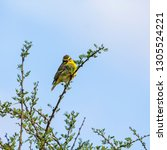 a yellow fronted canary perched ... | Shutterstock . vector #1305524221