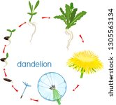 life cycle of dandelion plant... | Shutterstock .eps vector #1305563134