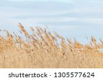 common reed  dry reeds  blue... | Shutterstock . vector #1305577624