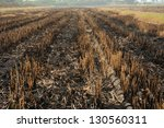 farmers burning rice straw. | Shutterstock . vector #130560311