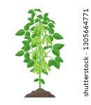 Soybean Plant Vector...