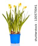 yellow narcissus isolated on a... | Shutterstock . vector #130575041
