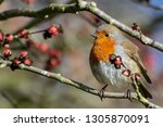 a robin perched on a twig in a... | Shutterstock . vector #1305870091