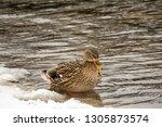 single female mallard duck on... | Shutterstock . vector #1305873574