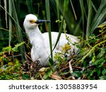 snowy egret sitting on egg in... | Shutterstock . vector #1305883954