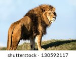 Male Lion Stood On The Crest O...