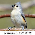 A Little Tufted Titmouse On Th...
